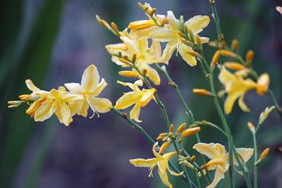 Un Crocosmia vigoureux et très florifère avec des fleurs d'un jaune très doux