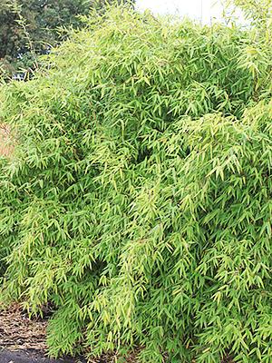 Bambou fargesia murielae