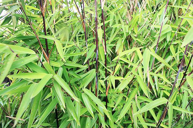 A la découverte des bambous non traçants rustiques